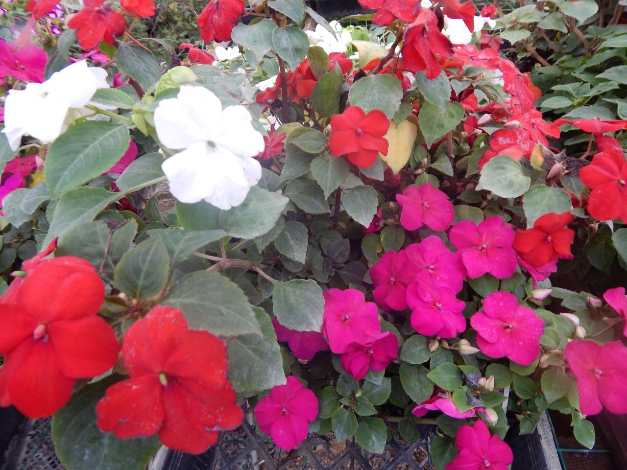 Flowers Mayflower Nursery Pierce Nebraska